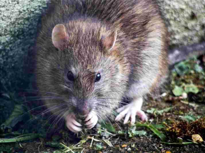 A rat sitting on green grass