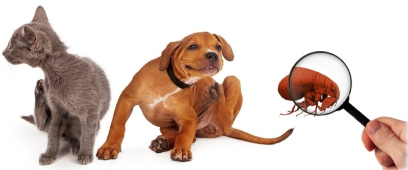 Flea Treatment for your Home